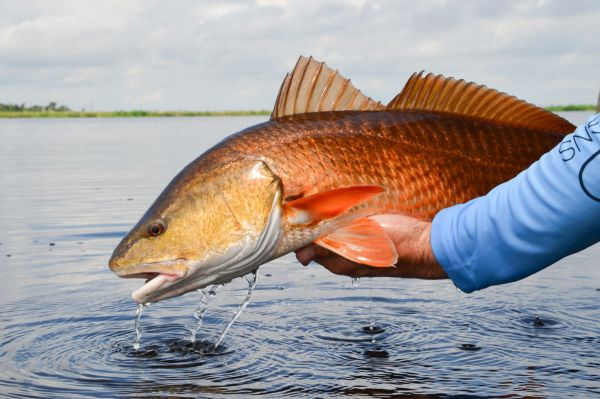 Redfish thrive in the marsh habitats created by the Caernarvon Freshwater Diversion project.