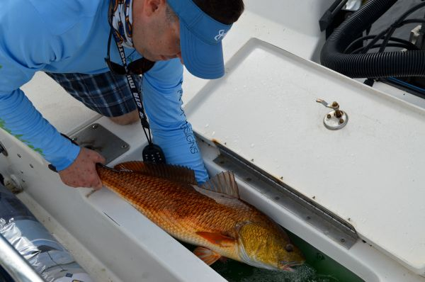 Fish are placed carefully to the livewell to keep from injuring them.