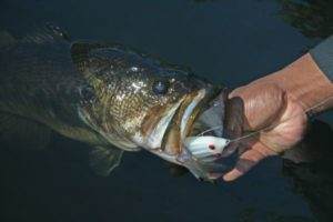 Topwater frogs are a great option for tempting fall bass.