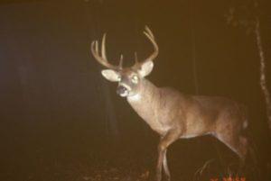 Growing large adult bucks such as this one requires a sound deer management program, it usually does not just happen.