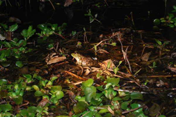 The small eardrums, only about the size of the frog's eye, mark this bullfrog as a female.