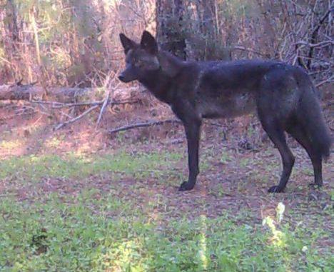 Black Coyote Or Coy Dog Mix Captured On Trail Cam In Washington Parish Louisiana