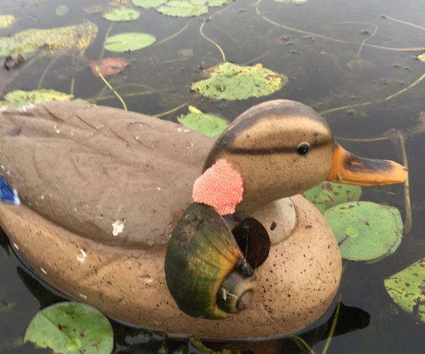 Invasive Apple Snails Spread Hard To Contain In Louisiana