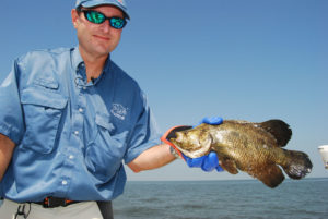 Tripletail are a regular visitor to the rig structures in nearshore Gulf waters off Louisiana's coast.