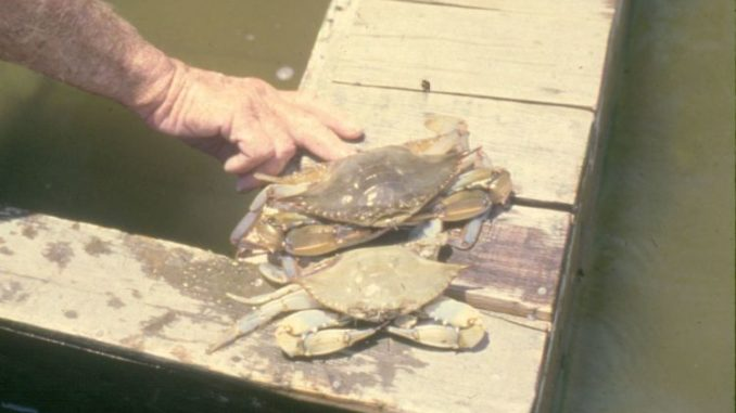 Blue crabs molt about 30 times during their live, with young crabs sometimes molting every week.