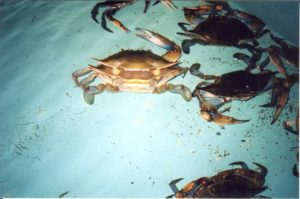 This crab is just beginning to back out of its old shell through the split in its back.