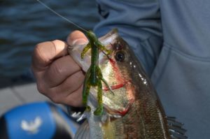 Watermelon candy is one of Gleason's favorite colors for Carolina-rigged V & M Baby Swamp Hogs.