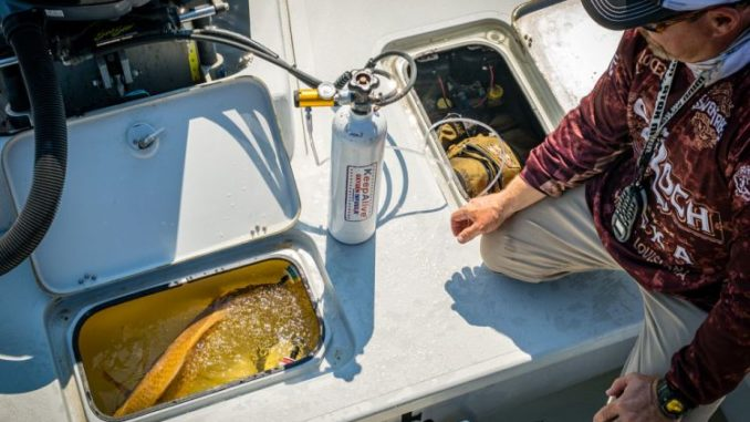 A tournament fish finally makes the livewell. A freshly landed redfish appreciates some oxygen after the fight of its life; but a dead red will keep an angler off the leaderboard.