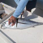 Tuna like bonito chunks