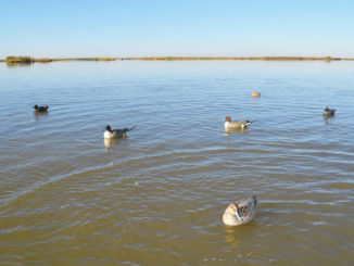 Matching the hatch is the first decoy rule for Creighton Ward. In the coastal waters of Plaquemines Parish, where mallards are almost nonexistent, he uses a mixture of species, including the pintails, gadwalls and wigeon shown here.