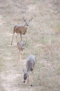 Mock scrapes work great when bucks first start checking out does at the beginning of the rut.