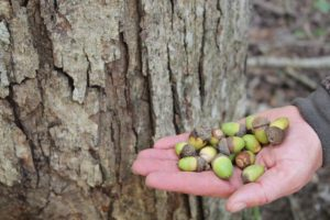 White oak acorns are a favorite food of big whitetails.