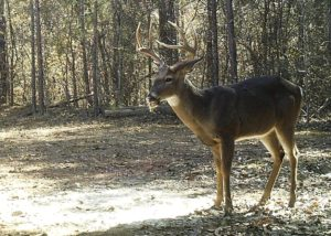 By 2015, a year later, it was time. The deer had recovered and turned into a beautiful 10-pointer.