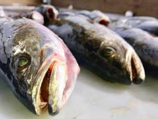 Marsh Man Masson shares some foolproof ways to keep your fish tasting fresh — without freezing.