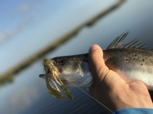 This speckled trout decided to eat, too.