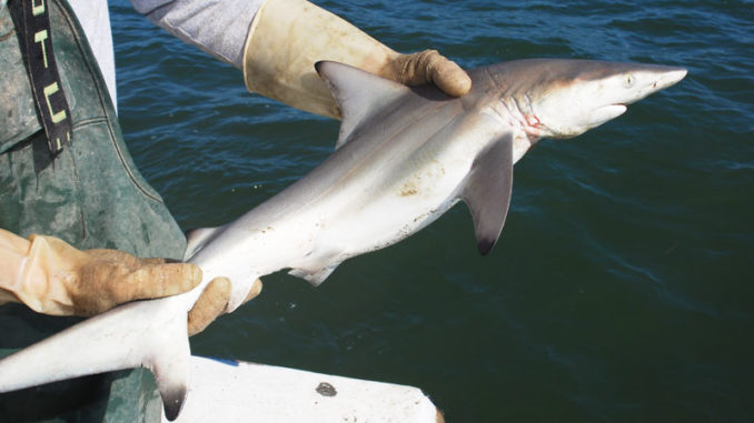 This blacktip shark is a female because she lacks claspers on her pelvic fins.