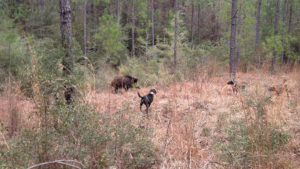 These three dogs have a big boar bayed. They trailed it to where the hog had bedded for the day.