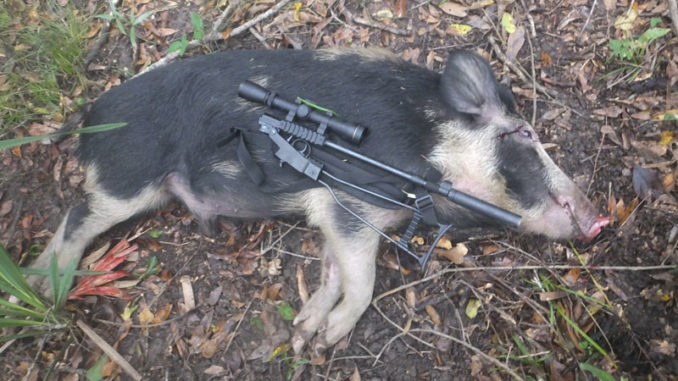 Josh Chauvin, the Apex Predator, downed this hog with his new micro .22 Mag, the Little Badger.