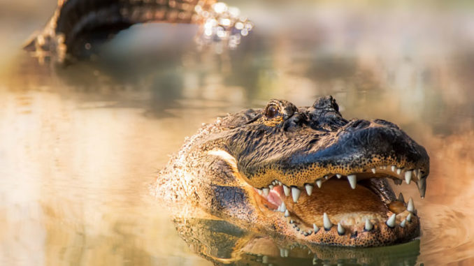 Two men pleaded guilty earlier this month to killing an alligator out of season, and then trying to hide the carcass from game wardens.