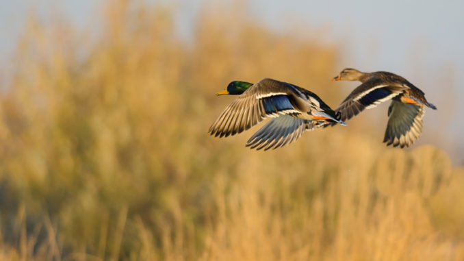 January's aerial waterfowl survey conducted by the LDWF was a fitting end to a weak migration year, according to waterfowl study leader Larry Reynolds.