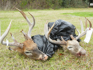 The heads of two big bucks taken in violation of the daily limit on Lake Ophelia National Wildlife Refuge last November.