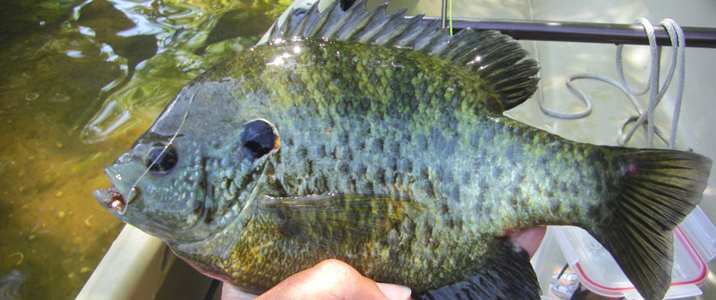 March is peak spawning time for chinquapins. A variety of weighted flies worked off the bottom will draw strikes from these feisty sunfish.