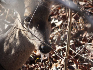 "Scientists dispute findings by Dr. Frank Bastian, an LSU researcher, that he has discovered a cure for chronic wasting disease, coined by popular media as ""Zombie Deer Disease"" because infected deer often salivate heavily, look lost, are emaciated and confused."