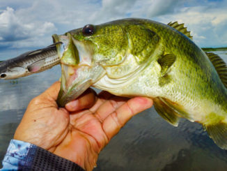 This bass was caught in east Pointe-a-la-Hache working a LiveTarget Hollow Body Mullet across the top of grass beds.