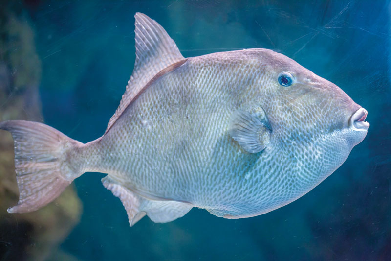 Gray Triggerfish are being overfished according to the Federal fisheries folks.