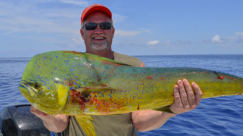 Mahimahi grow at an extremely fast rate; a 5-year-old fish can weigh 60 pounds.