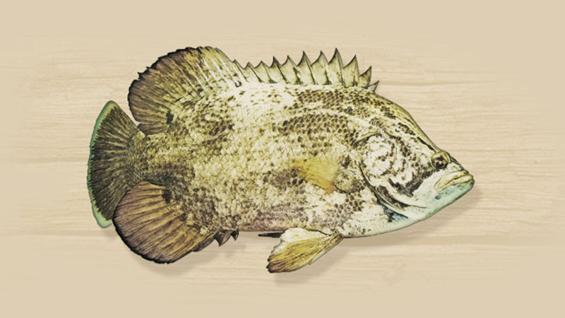 Tripletail are considered by many to be the best eating inshore fish.