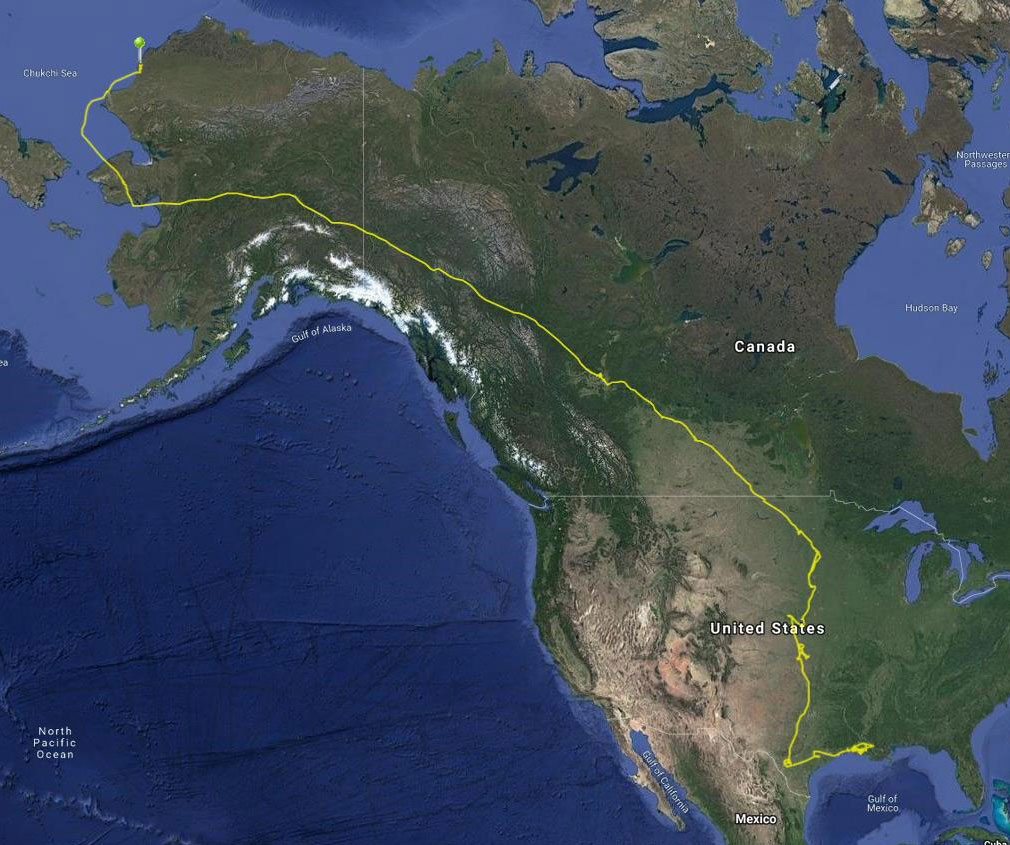 The yellow line denotes the white-fronted goose's journey from Gulf Coast to Alaska's Arctic North Slope.