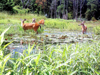Deer can swim and often wade out in ponds and lakes to feed on vegetation and will escape to high ground when the Morganza floodway gates are open. The best management activity is simply not to disturb them in the areas where they congregate.