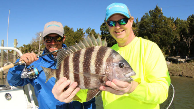 Sheepshead like this one are often caught around docks, where the fish search for food among the barnacles that grow on the wooden structures.