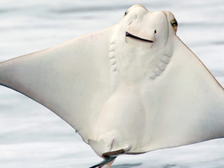 Rays like this jumping cownose, often leap out of water, but few ever collide with a human while doing so.