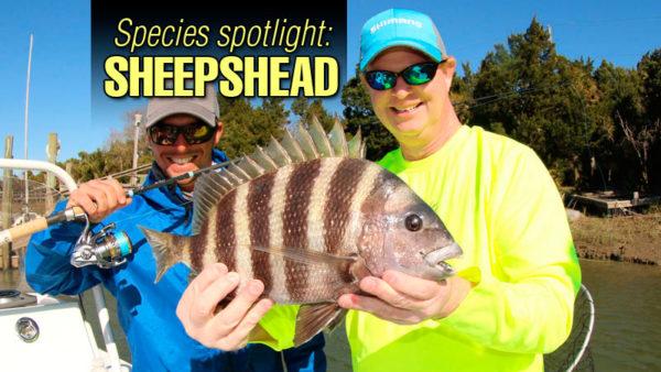 Species spotlight: Sheepshead