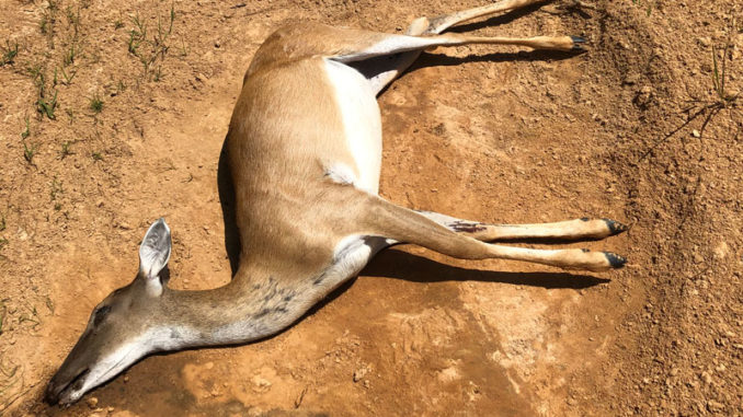 The author and his son discovered this deer, dead of unknown causes on their hunting lease. LDWF was notified and the head was submitted for CWD testing.