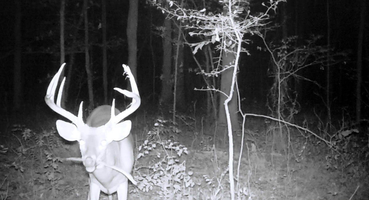 A buck chewing on a honey locust pod not bothered by a blacked-out camera.