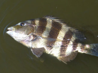 "Getting the wily sheepshead to eat a fly is a difficult challenge, thus earning it's nickname ""Cajun Permit."""