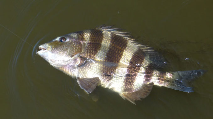 """Getting the wily sheepshead to eat a fly is a difficult challenge, thus earning it's nickname """"Cajun Permit."""""""