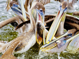 Pelicans frequent the MRGO Dam to gorge on the schools of bait. They descended on this redfish as an angler attempted to reel it in. The angler won both battles.