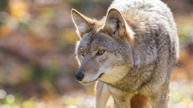 It's tough enough to trap a coyote when everything is set up correctly; make one of a half-dozen beginner mistakes and the task becomes almost impossible.