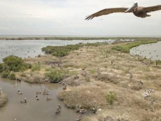 Queen Bess Island is one of Louisiana's top brown pelican nesting rookeries.
