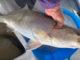 8-pound trout