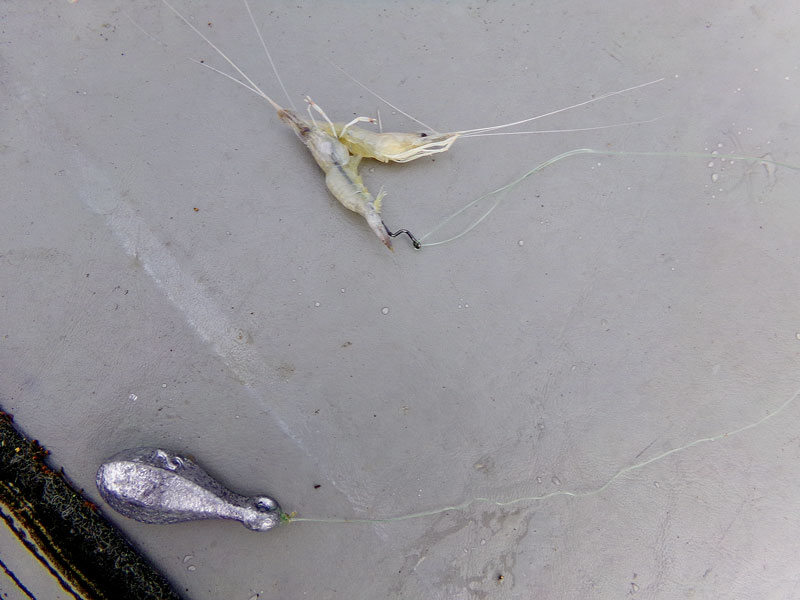 A 2-ounce bank sinker and hook baited with two shrimp are an unbeatable combination.