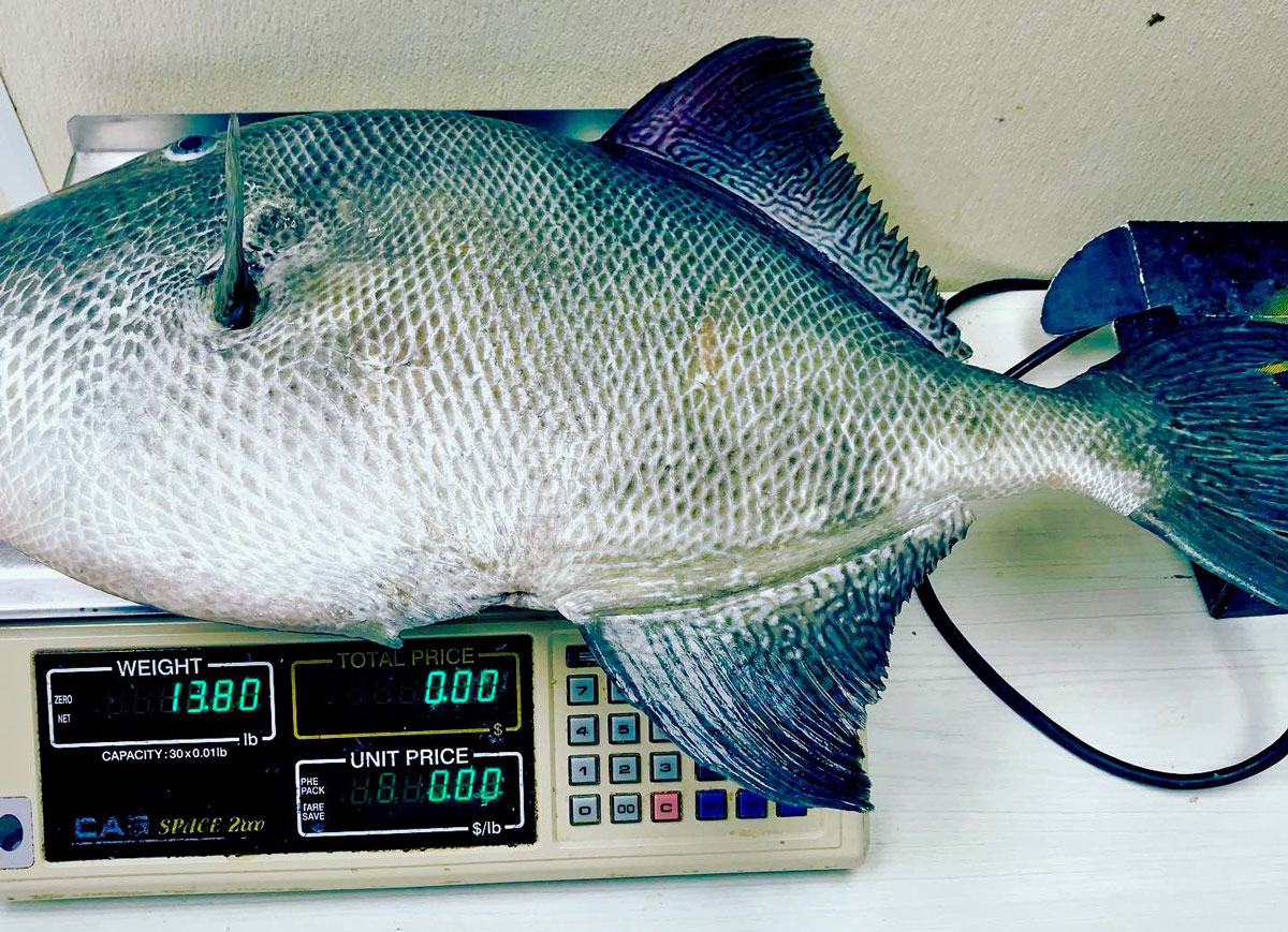 Brian Carlos' huge triggerfish tipped the scales at 13.80 pounds.