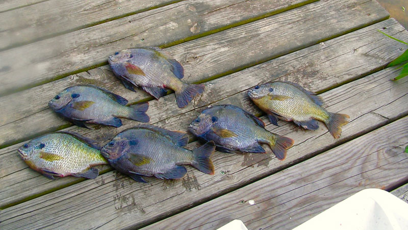 According to bait sales, more people fished this spring during the pandemic than any time before. The prize most were seeking were big bream like these.
