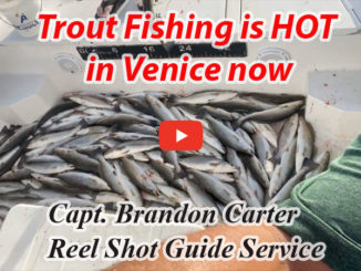 Speckled trout action is hot in Venice!