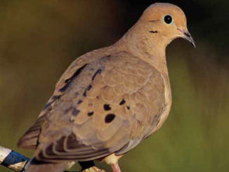 Fat and healthy mourning doves like this one are popular for hunters in the field and also make great table fare, especially prepared on the grill. (Photo courtesy LDWF)