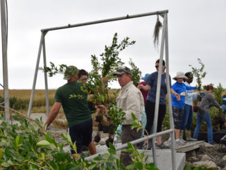 Volunteers unload mangrove bushes for planting at Queen Bess Island Refuge.